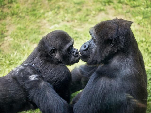 Baraka e Calaya avranno un figlio, grazie al Tinder dei gorilla