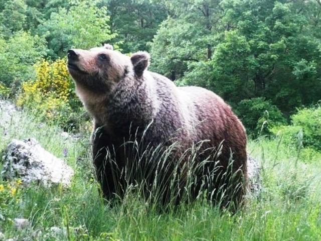 Orso bruno marsicano, servono risposte dal ministero dell'Ambiente