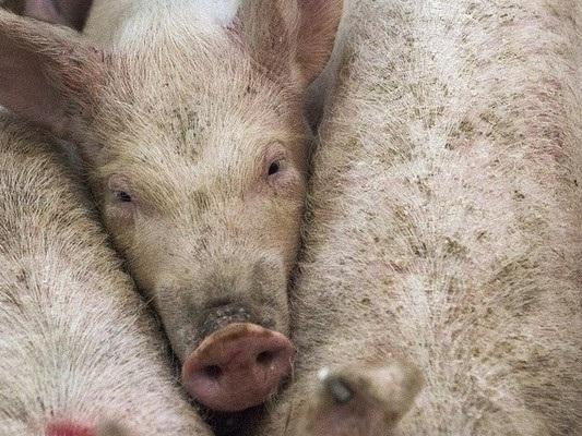 Sequestrate 9,5 tonnellate di carne di maiale cinese a Padova