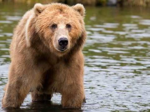 Trentino, torna libera l'orsa JJ4. Il Consiglio di Stato dà ragione agli animalisti e sospende l'ordinanza della cattura e della reclusione
