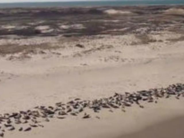 Strage di foche in Namibia: oltre 12mila cuccioli morti sulle coste. Le immagini di Ocn