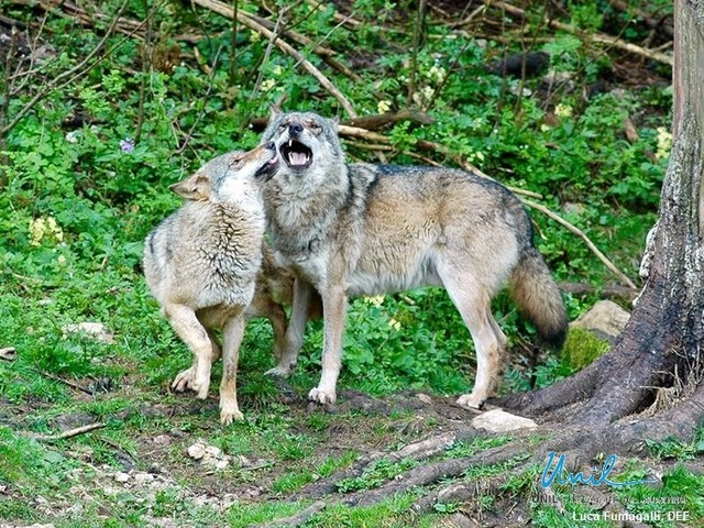Un lupo è un lupo. Nelle Alpi svizzere meno del 2% di ibridi