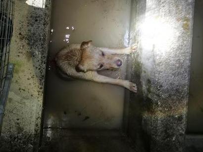Cane chiama i pompieri e salva altri due Labrador caduti in una vasca irrigua