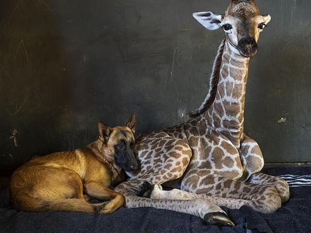 E' morta la cucciola di giraffa abbandonata dalla madre, al suo fianco l'inseparabile cane Hunter