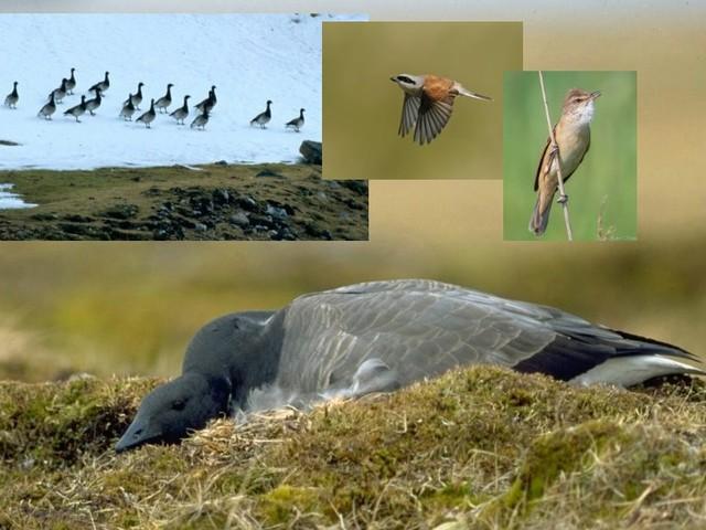 Il cambiamento climatico sta riducendo le possibilità riproduttive degli uccelli migratori europei