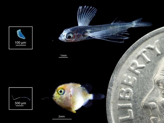 Le nursery oceaniche invase da microplastica delle dimensioni delle prede delle larve dei pesci