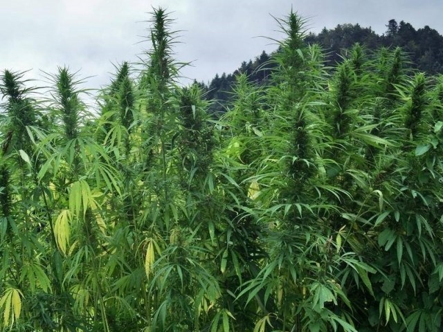 Marijuana a San Lorenzo, sequestrate 4200 piante