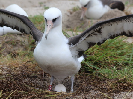 Wisdom, l'uccello marino più vecchio del mondo, è tornata a nidificare a Midway