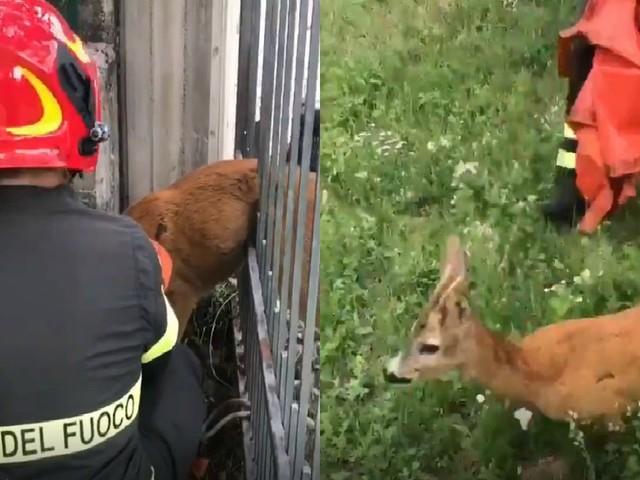 Varese, capriolo rimane incastrato in una recinzione: le immagini del difficile salvataggio dei Vigili del fuoco, poi la corsa verso la libertà