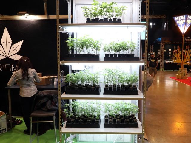 Salvini: chiusi tre negozi di cannabis M5S: negli shop solo la canapa legale