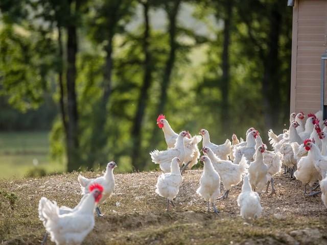 Pollo di Bresse: il miglior pollo al mondo si mangia in Francia