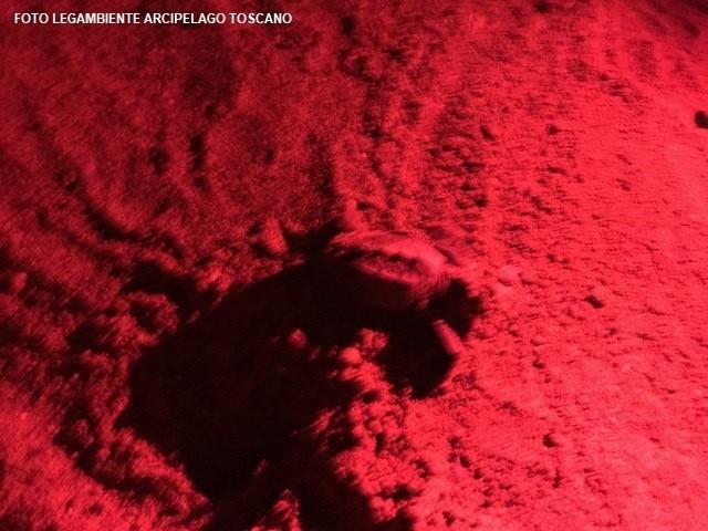 """Tartarughe marine, in Toscana al via la campagna 2019 """"Chi trova un nido trova un tesoro"""""""