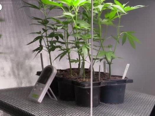 Primo si' alla mini-coltivazione di cannabis a casa