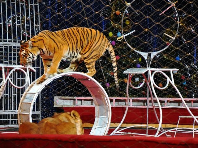 Circo senza animali: addio solo graduale