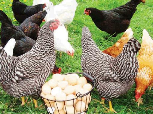 Troppe galline (9) nel pollaio Adesso rischia la multa