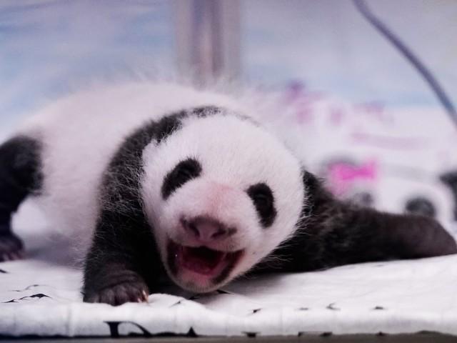 Germania-Cina, sale la tensione per colpa di due panda