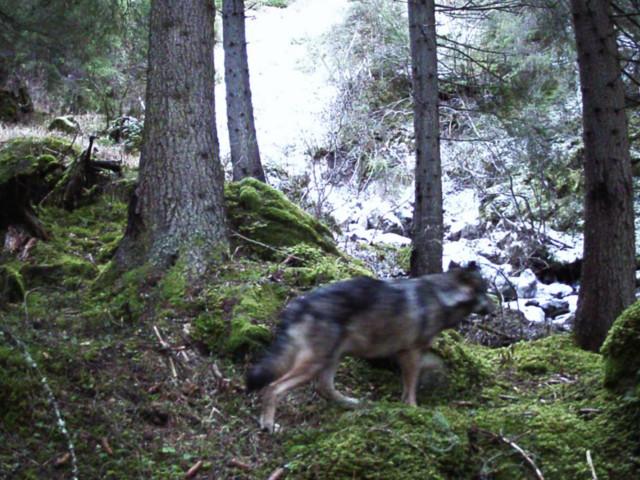 Quel lupo meraviglioso sul sentiero