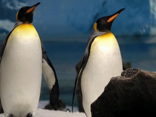Sudafrica, pinguini a rischio estinzione entro 15 anni