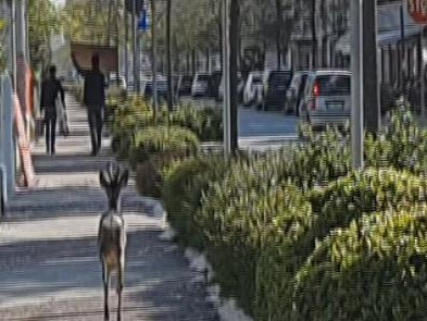 Un capriolo smarrito a Grado tra Città Giardino e parco delle Rose