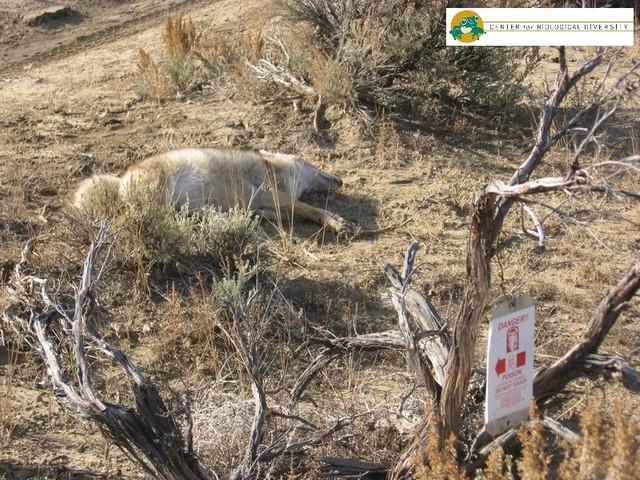 """L'Epa di Trump riautorizza le """"bombe al cianuro"""" per sterminare lupi e coyote"""