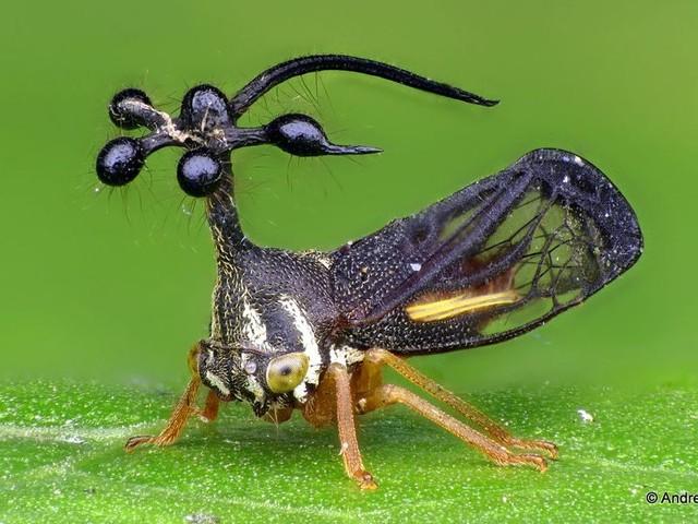 Risolto il mistero degli incredibili elmi alieni dei Membracidi: a costruirli sono i geni delle ali