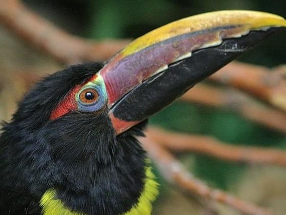 Aracari verde (Pteroglossus viridis)