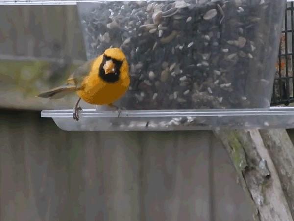 Rare Yellow Cardinal Spotted in Alabama