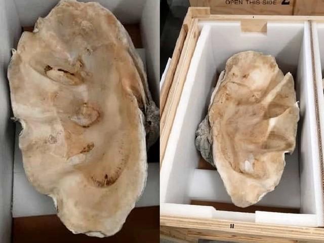 Sequestrate conchiglie di mollusco gigante in via di estinzione