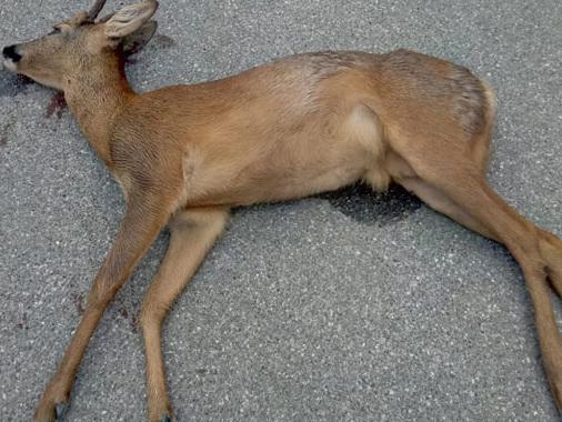 Gazzuolo, investe e uccide un capriolo: ingenti i danni all'automobile