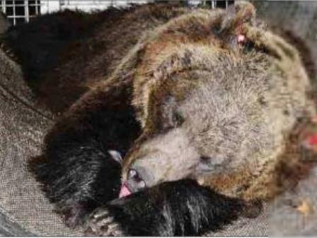 Consiglio di Stato: accolto un altro ricorso contro la cattura dell'orsa Jj4