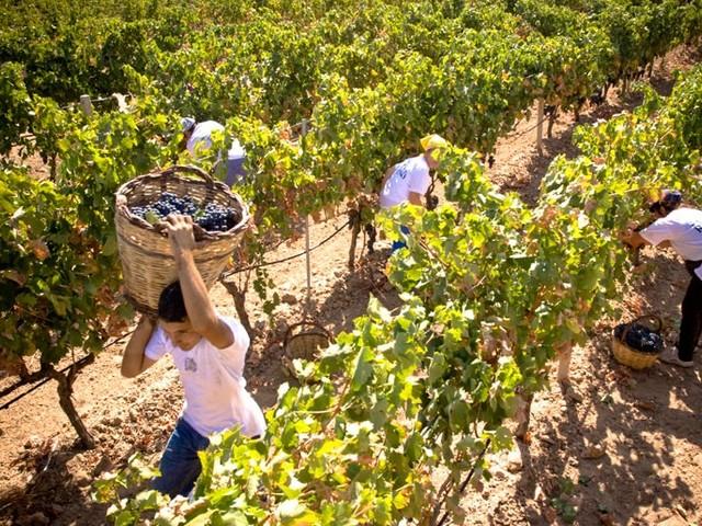 Vendemmia in Toscana, Coldiretti: aumento del 10% della produzione