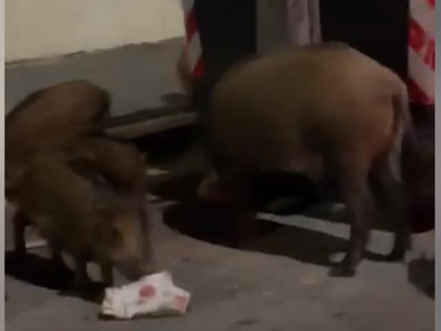 Roma, passeggiata notturna per una famiglia di cinghiali sulla Cassia (VIDEO)