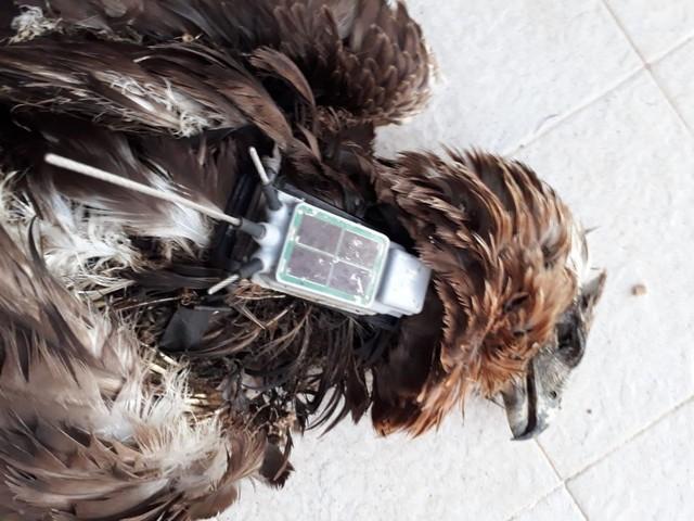 Ancora bracconaggio in Sicilia: uccisa una rara aquila del Bonelli