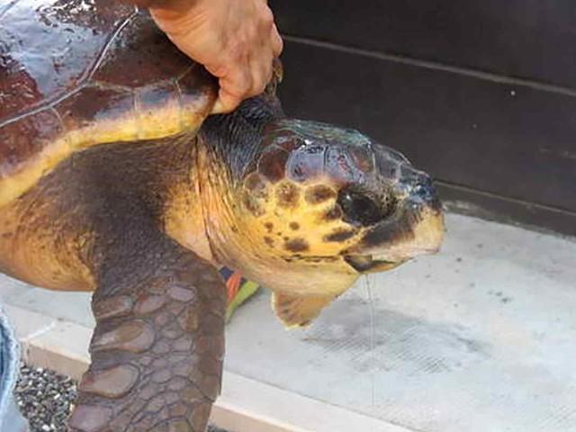 Il 16 giugno è la Giornata Mondiale delle tartarughe marine