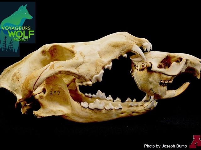 """Come i lupi killer e i castori ingegneri """"ricostruiscono"""" il territorio di un Parco Nazionale"""