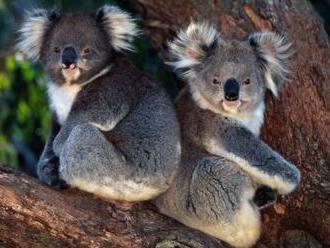 Koala addio in 30 anni. La specie simbolo messa in ginocchio dagli incendi