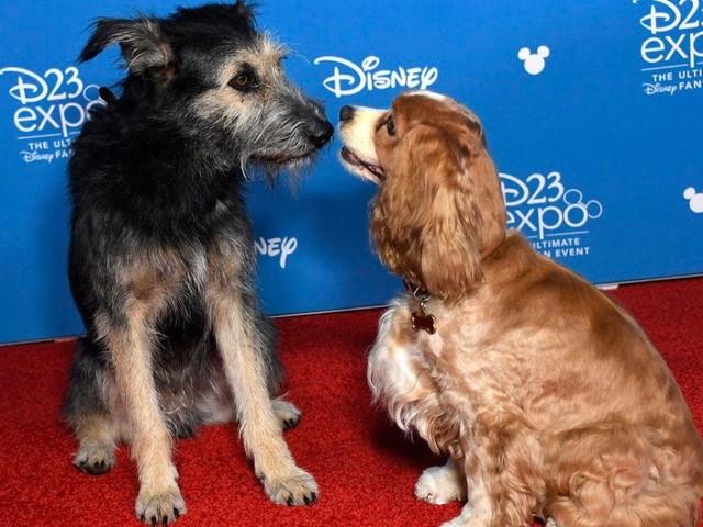 """Dal canile a Hollywood: il randagio Monte è la nuova star Disney nel remake di """"Lilli e il Vagabondo"""""""