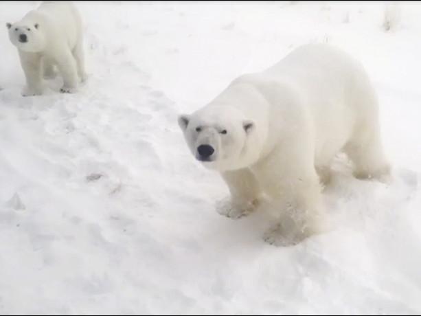 Ecco perché gli orsi polari assediano un avamposto militare nucleare russo (VIDEO)