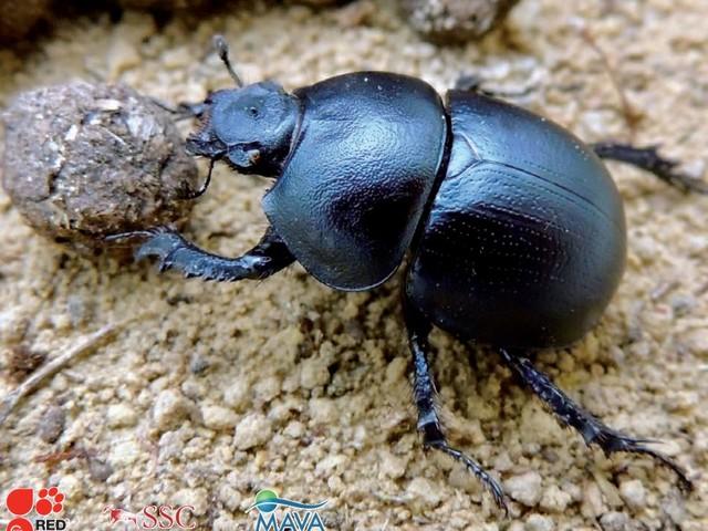 L'attuale modello agricolo distrugge le popolazioni di scarabei stercorari del Mediterraneo