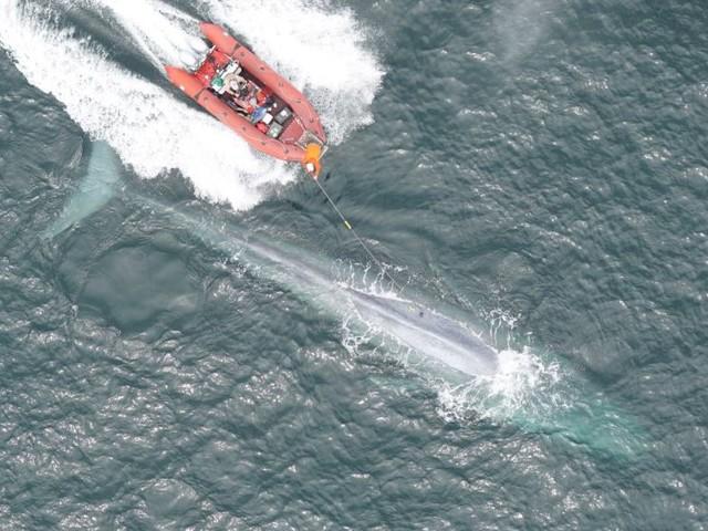 Registrata per la prima volta la frequenza cardiaca di una balenottera azzurra, il più grande animale del mondo (VIDEO)