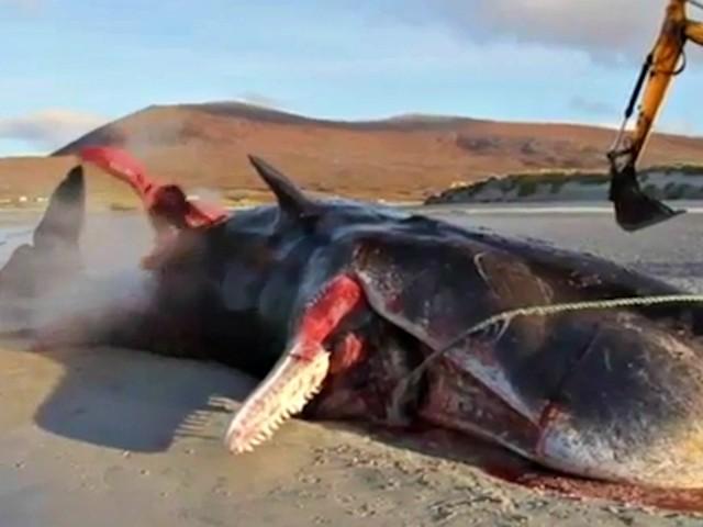 """Capodoglio """"esplode"""" sulla spiaggia: nello stomaco trovati 100 chili di rifiuti. Le immagini"""