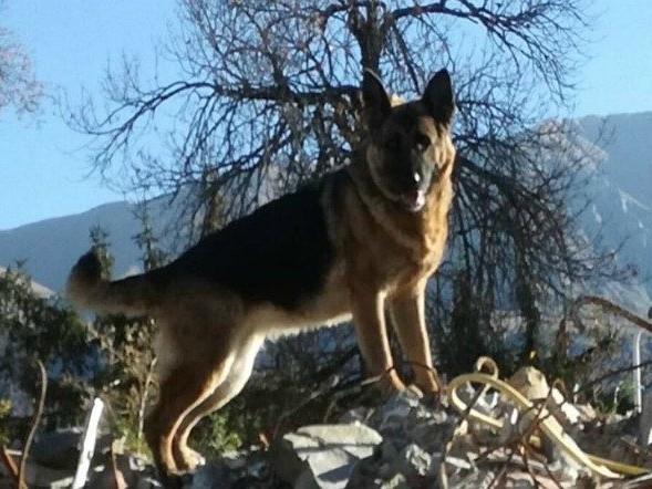 Morta Laga, addio al cane eroe di Amatrice: trovò i corpi dei suoi padroni scavando tra le macerie