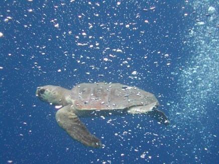 Il monitoraggio delle tartarughe marine in Toscana (VIDEO)