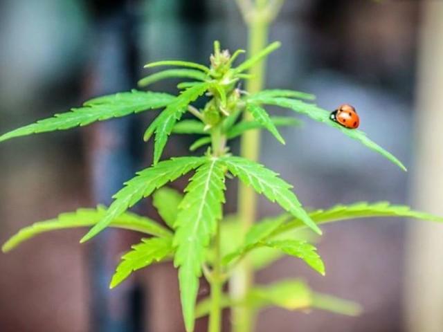 Cannabis curativa, a fare danno sono i pregiudizi