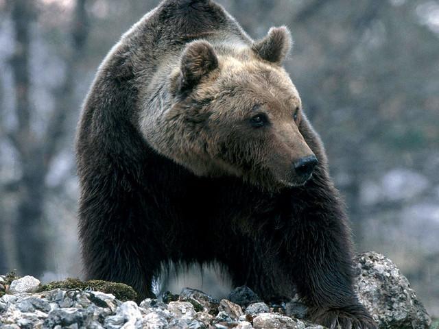 Orso bruno marsicano: l'80% degli orsi muore ancora a causa dell'uomo e ora arriva un'altra minaccia