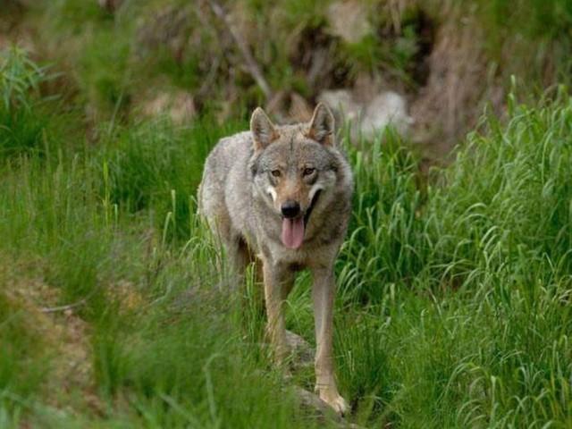 La verità sui lupi in Trentino: altro che «emergenza» da ronde: meno predazioni, la prevenzione funziona