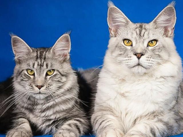 Le 6 razze di gatto più costose al mondo. Ecco quali sono