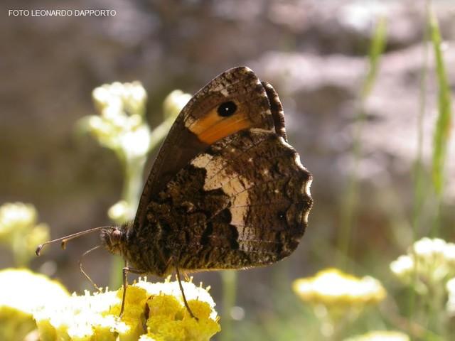Le due Italie delle farfalle e il tesoro nascosto del centro-sud