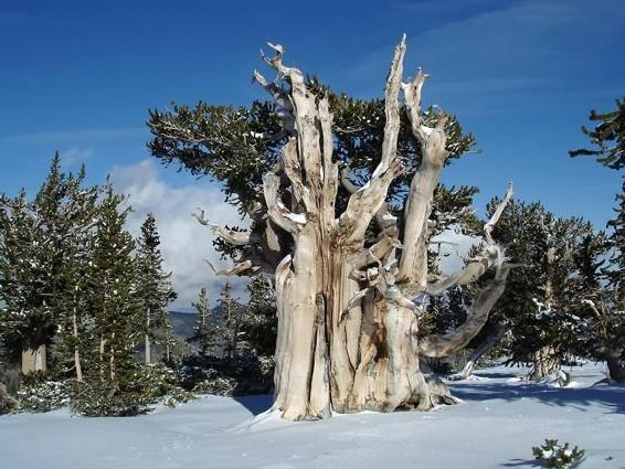 Il segreto della longevità nel cuore del pino che vive oltre 5mila anni