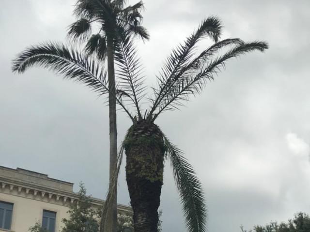 Trani: in piazza cade una palma. Devastata dal punteruolo rosso Martina Franca: analoghe segnalazioni di pericolo